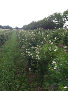 berry blossoms in June