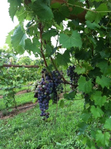 chambourcin grapes ripening early August